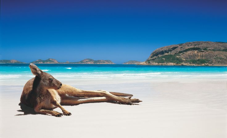 The picturesque beach with incredibly white sand with kangaroo sunbathing at Lucky Bay Esperance, Western Australia