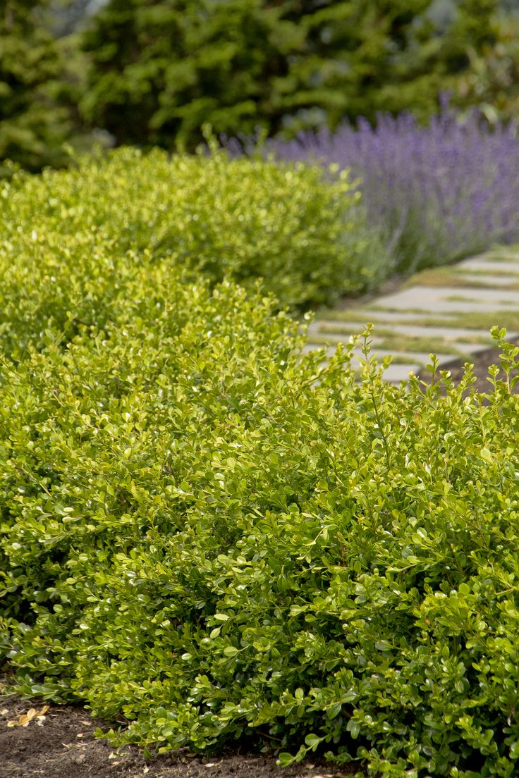 Winter Gem Boxwood is an excellent evergreen shrub for small hedges. Among the hardiest of the small-leaved boxwoods, the rich green foliage can acquire a golden bronze hue in cold winter zones, but is one of the first to become green again in spring. Makes a wonderful addition to formal gardens, providing year-round interest. Zone 5-9