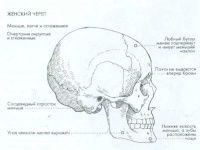 Мужской, женский и детский череп — Уроки рисования