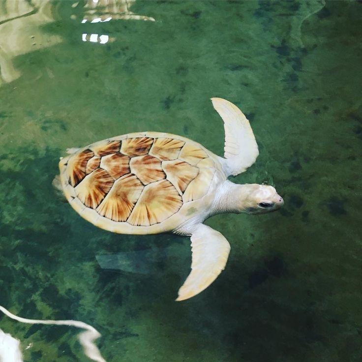 Albino Sea Turtle at the Kosgoda Sea Turtle Hatchery