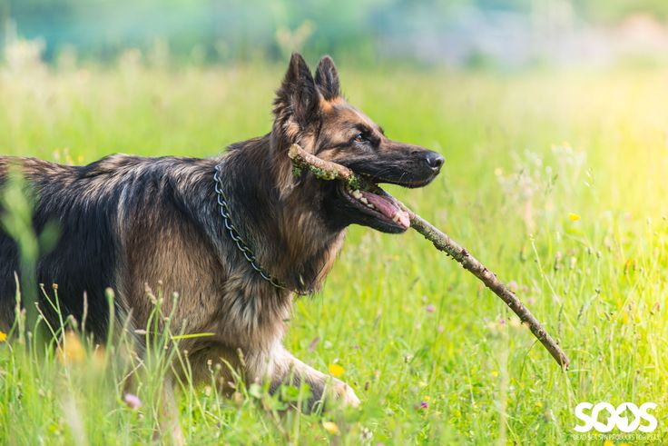 german shepherd with big stick walking through tall grass dogs running dogs on grass. Black Bedroom Furniture Sets. Home Design Ideas