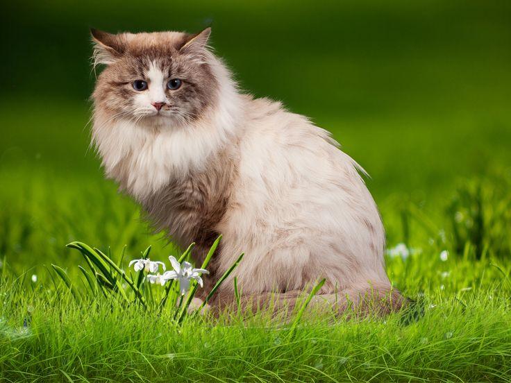 Невский Маскарадный кот-Прохор.