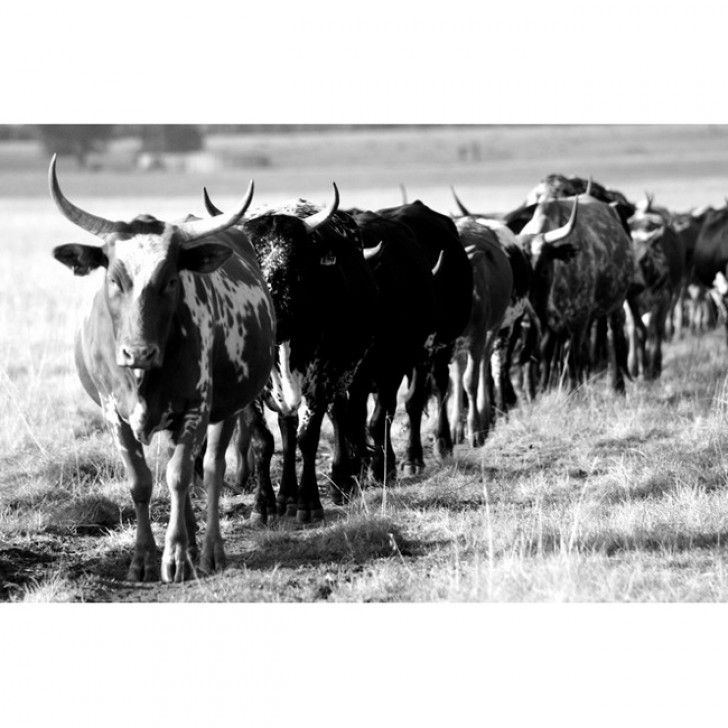 THINK IMAGES   Landscape Nguni Cattle Wall Canvas - Homeware - 5rooms.com