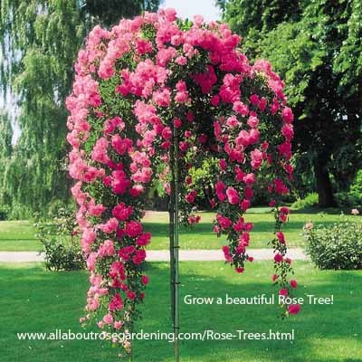 Gorgeous weeping rose tree! http://www.allaboutrosegardening.com/Rose-Trees.html