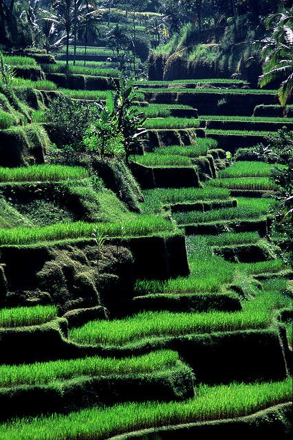 Rice pads - Tellalalang, Bali, Indonesia by ©miguel valle de figueiredo, via Flickr