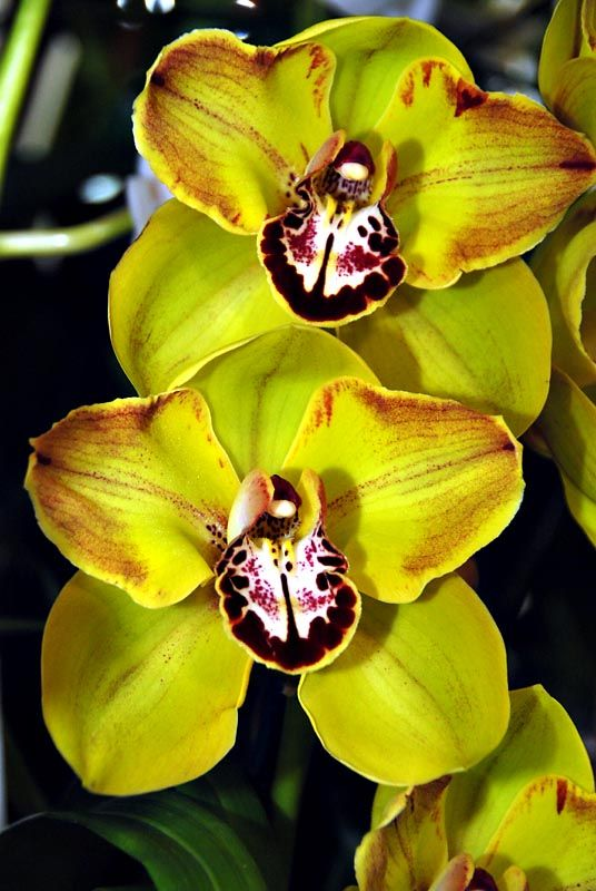 Kakadu Cymbidium Sunset | Cymbidium Kakadu Sunset 'Green Spectacle' photo - Ken Leonard photos ...