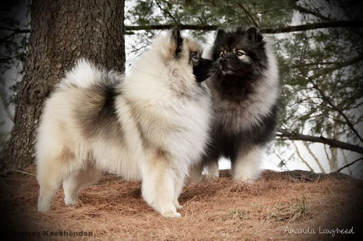 Keeshond And Cats 17+ images abou...