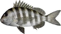Sheepshead! Just caught some of these so better get busy and find a ...