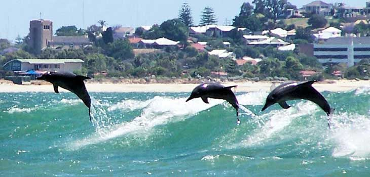 Koombana Bay dolphins, Bunbury, Western Australia