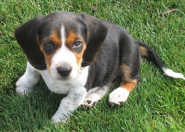Miniature Beagle. Please.