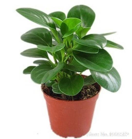 ببروميا Plants Best Office Plants Lucky Bamboo Plants