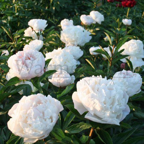 Pioni Gardenia on myöhäinen kukkija, se kukkii vasta heinäkuun lopulla