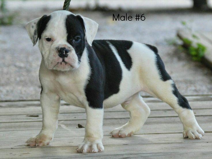 Male Olde English Bulldogge