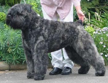: bouvier hair cut,