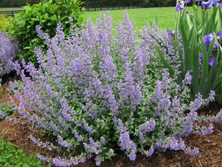 Nepeta racemosa 'Walker's Low' Common Name catmint Type