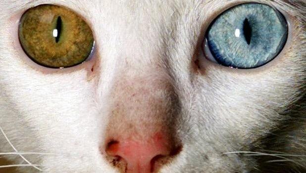 Heterocromía: Ojos de diferente color en nuestra mascota