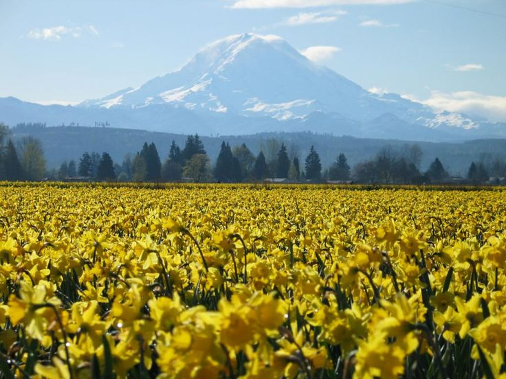 This is a daffodil field in Washington. Take me here, please?!