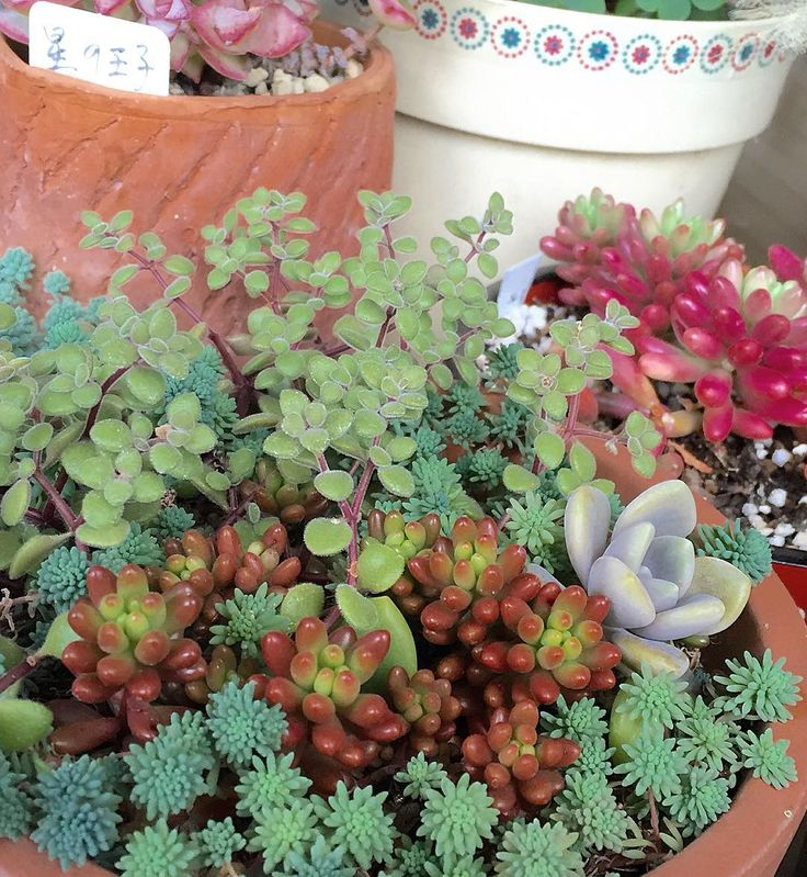 虹の玉とオーロラの色がだんだんさめてきた 寒い日もあるけどもう春間近ですね  #セダム#sedum #エケベリア#多肉#植物#多肉ちゃん#多肉植物 #多肉のある暮らし #植物のある暮らし #虹の玉#ヒスパニクム#パリダム#オーロラ#succulent #succulents #plant #白牡丹#plants #gardening #ガーデニング#ブロウメアナ 2016.3.20. by sumire_ume