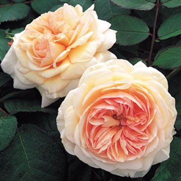 This shade tolerant climbing rose, the Shropshire Lad rose, is strong and healthy with peach colored blooms and a wonderful fruity scent. This rose will really brighten up a shady place in your garden, however, I do not mean a deep shady spot.