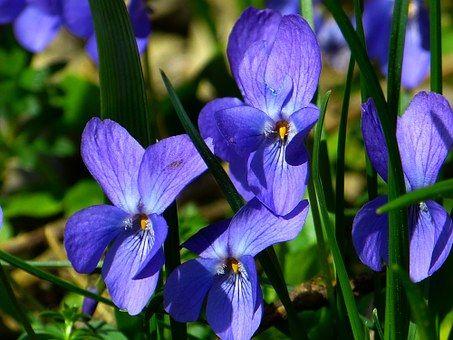Violet, Alto, Pourpre, Plantes