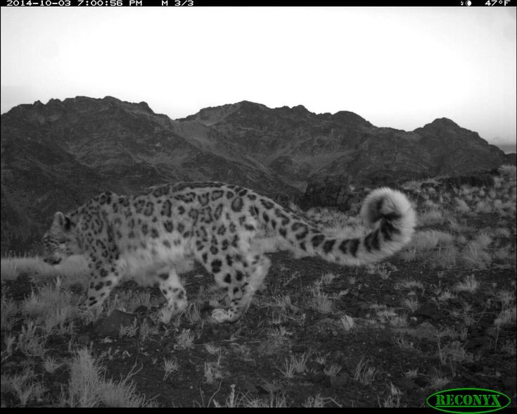 Using remote-sensor research cameras and GPS tracking collars, Snow Leopard Trust researchers have been able to follow and observe a young female snow leopard named Anu over the course of four years as she grew up, dispersed from her mother and later had cubs herself twice in her mountain habitat in Mongolia's South Gobi. The latest photos show Anu followed by three small cubs. Her tale is a powerful sign of hope for the endangered cat species.
