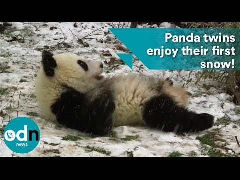 Giant Pandas Play in the Snow - YouTube