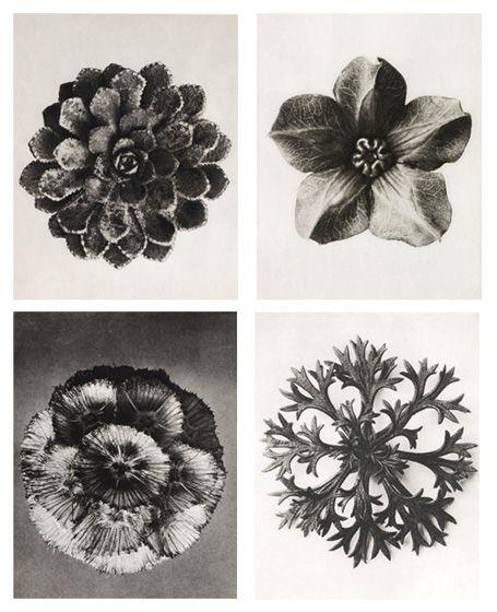 karl blossfeldt : bloemknoppen