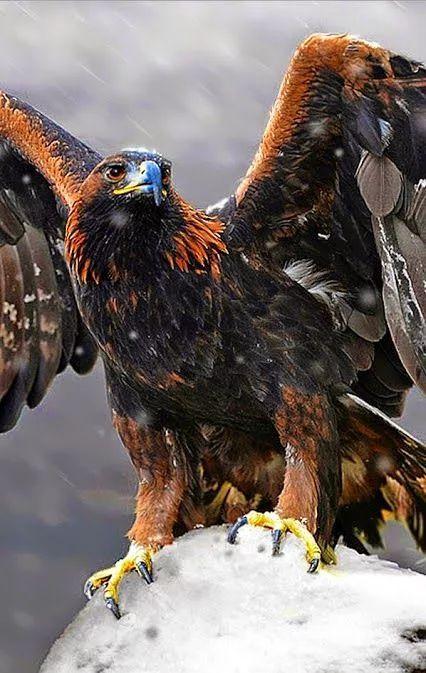 Golden Eagle -                                                                                                                                                                                 More                                                                                                                                                                                 More