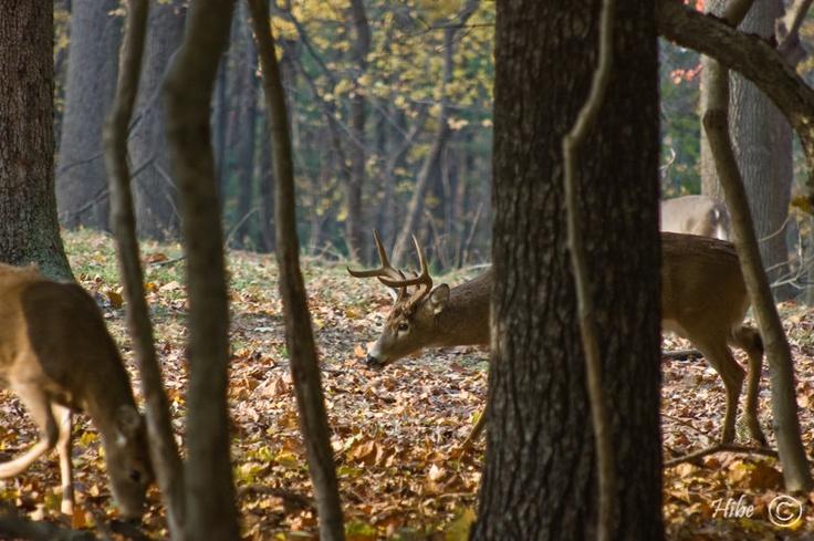 Valley Forge Buck 1411.jpg