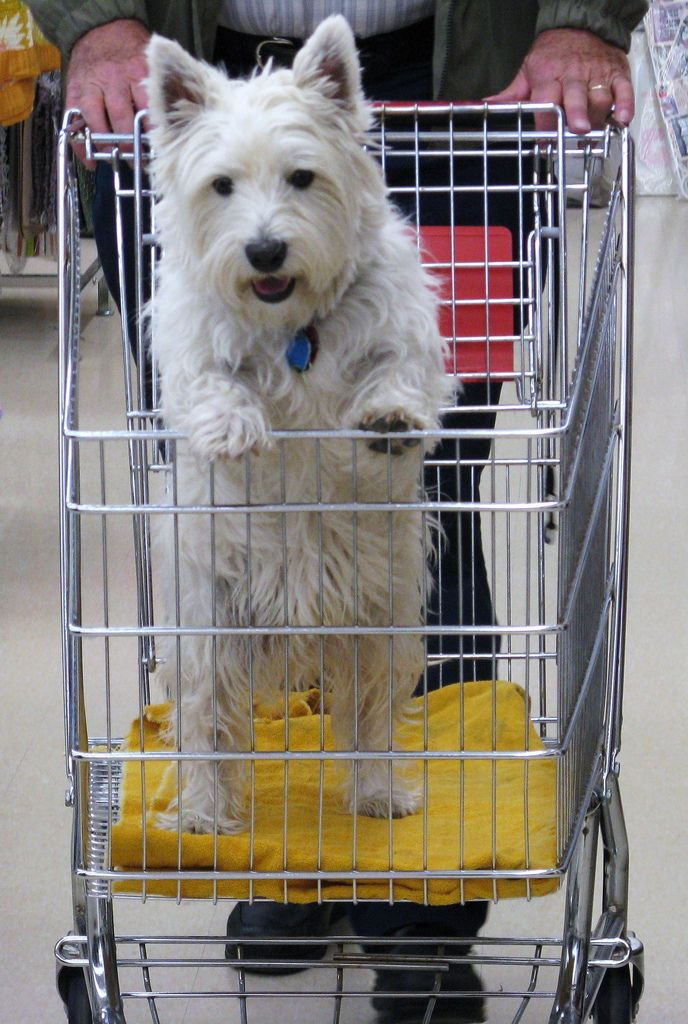 Best Funny Westies Ideas On Pinterest Westie Puppies - Every day this dog goes shopping all by himself to get treats