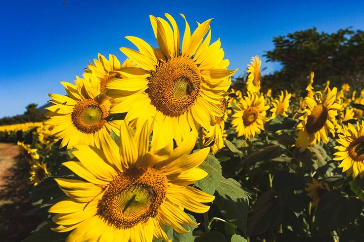 Stunning sunflower fields in Nghe An -  Besides beautiful landscapes such as Cua Lo Beach, Pu Mat National Park, etc., recently, Nghe An attracts a huge attention of tourists by stunning sunflower fields in Nghia Dan District.  #ThingsToSeeInNghean, #ThingsToSeeInVietnam, #Video, #VisitVietnam, #WinterFlower -  #Destination, #DestinationintheCentral, #NgheAn, #Videos
