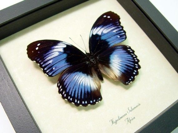 Real Lavender Purple African Butterfly by REALBUTTERFLYGIFTS, $39.99