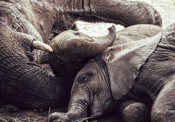 Elephants In The Mud by Adam Rozanski on 500px