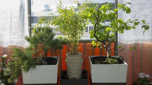 Bergtall bambu Prunus mume [ balkong balcony trädgård planting ]