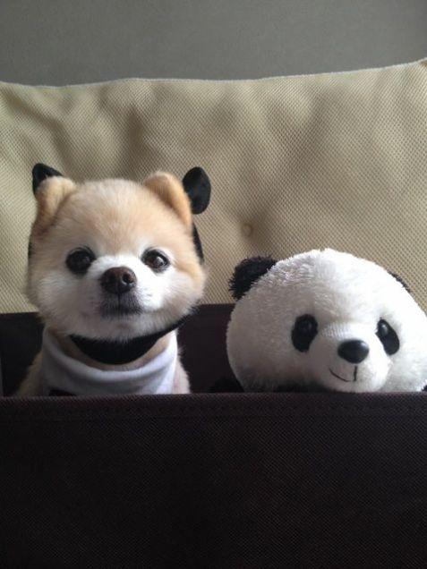 The Pom and Panda