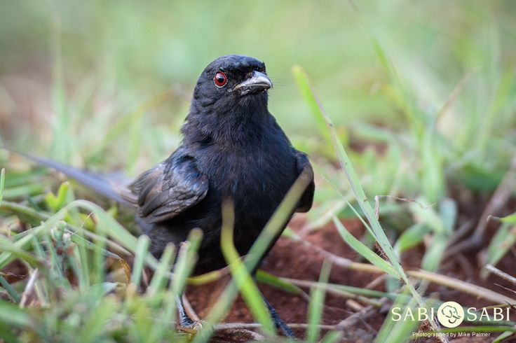 A rare close up of a Fork-tailed Drongo that was showing interest toward some termites.