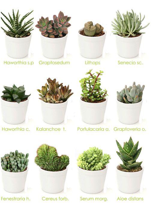 Regalos empresa plantas crasas cactus y suculentas for Plantas crasas interior