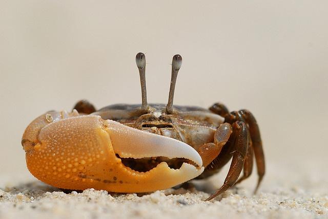 Crabe des cocotiers by le_faju, via Flickr
