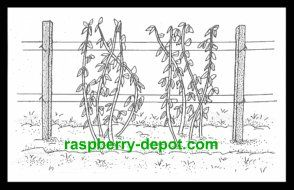 All you need to know about Planting Raspberries with PICTURES, the How to Plant Raspberry Instructions for successful berry gardening!