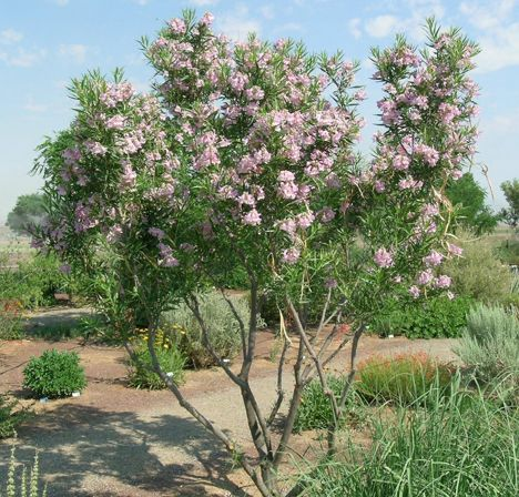 Desert Willow. I really want to replace our Crepe Myrtles for this. They are so pretty and fragrant. The ones near my office still had flowers on them all summer long even though we didn't have any rain and had 110 degree heat.