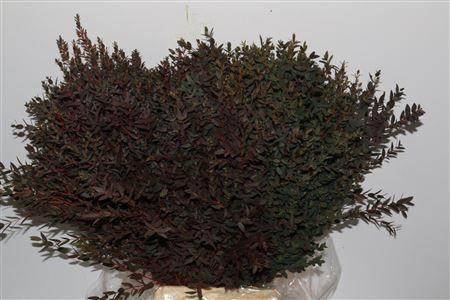 Euca. Parvifolia Rood P Bos Height: 70cm Quantity: 2 bunches Price: £15