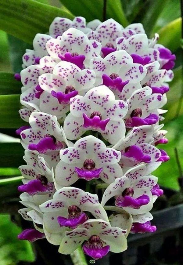 Orquídeas em grupo. Algumas das orquídeas menores crescem em aglomerados em ramos, em vez de em hastes.