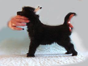 Mishelin Black Berry - Китайская хохлатая собака питомник Vittoria dell Amore
