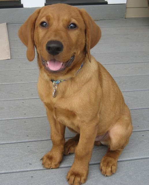 Fox Red Labrador!  Can we say Mardi without his white spots