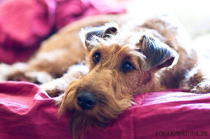 Irish Terrier, dog, pet, home, love, cute