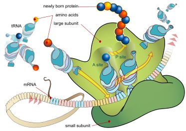 TJ. In molecular biology and genetics, translation is the process in which cellular ribosomes create proteins.  In translation, messenger RNA (mRNA)—produced by transcription from DNA—is decoded by a ribosome to produce a specific amino acid chain, or polypeptide. The polypeptide later folds into an active protein and performs its functions in the cell. The ribosome facilitates decoding by inducing the binding of complementary tRNA anticodon sequences to mRNA codons. The tRNAs carry…