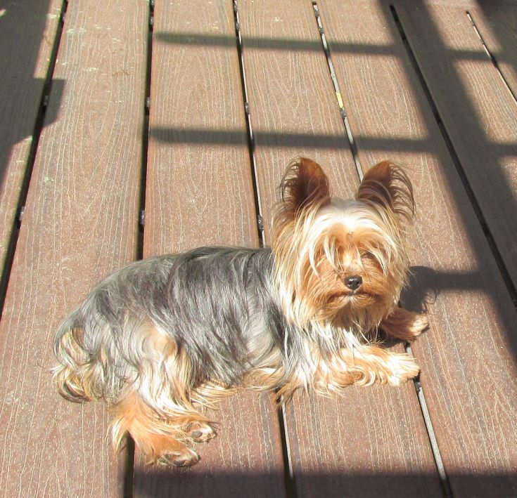 NADIA is an adoptable Yorkshire Terrier Yorkie searching for a forever family near Woodsfield, OH. Use Petfinder to find adoptable pets in your area.