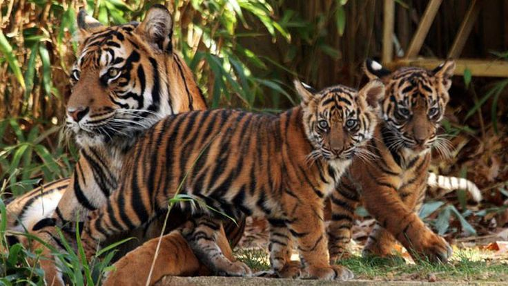Petition · Over 90,000 acres of Critical Tiger Habitat to be Logged for Profit - Stop FDCM's Plan! · Change.org