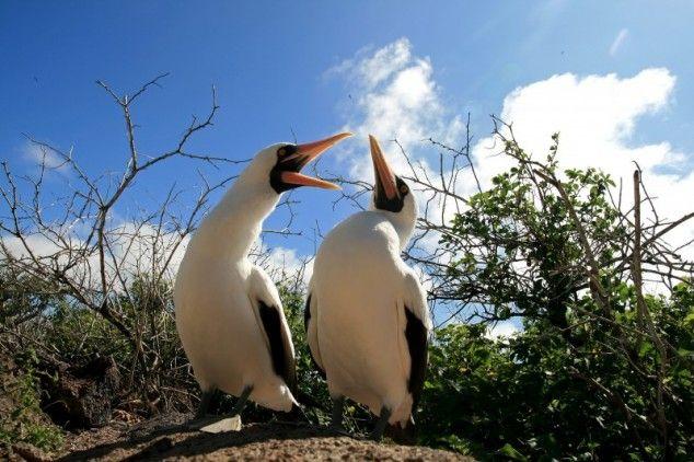 Masked boobie - foto in Galapagos eilanden, Ecuador