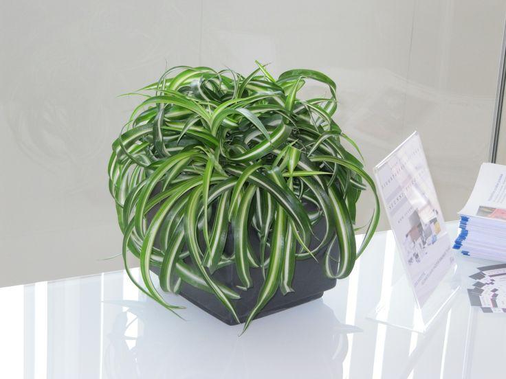 Rönsyilevä viherkasvi